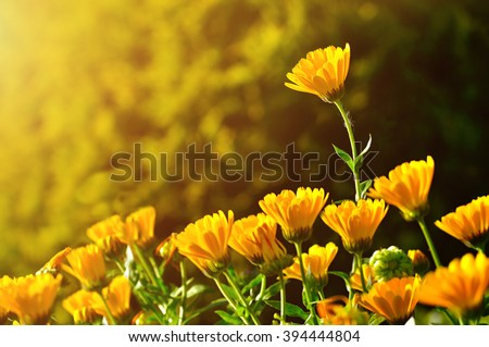 Summer field landscape with bright orange flowers of calendula under sundown light. Selective focus at the upper flower. Natural floral background.  - stock photo