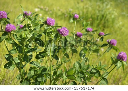 Summer field of pink clovers on green grass background  - stock photo