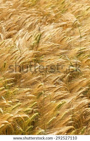 Summer Field of the ripe Barley