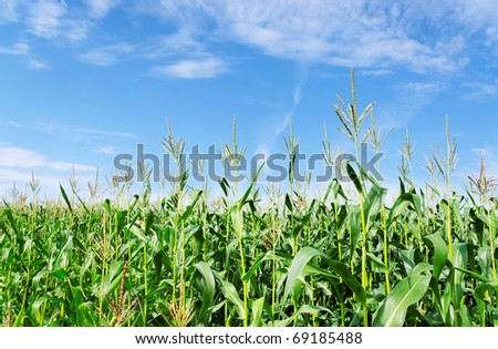 Summer field with growing green corns. - stock photo