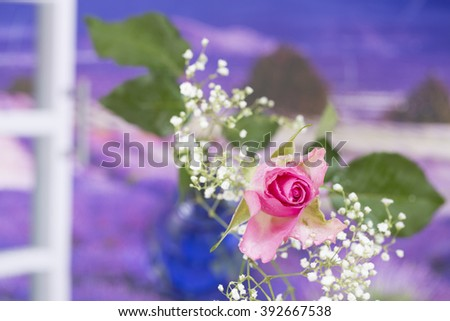Summer Flower, pink rose isolated  - stock photo