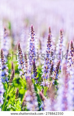 Summer flowerbed of beautiful blooming bright vivid purple woodland sage flower (Salvia nemorosa) on blurred background - stock photo