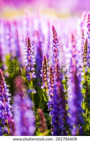 Summer flowerbed of beautiful blooming vivid purple woodland sage flower (Salvia nemorosa) on blurred background - stock photo