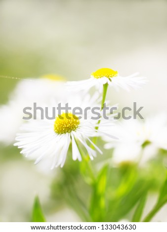 Summer flowers - daisy on green background , soft focus - stock photo