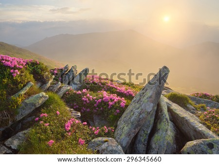 Summer flowers in the mountains. Morning landscape with rising sun and fog. Blooming pink rhododendron. Carpathian Mountains, Ukraine - stock photo