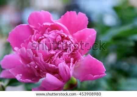 Summer garden rose beautiful flower bud background - stock photo
