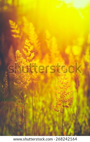 Summer Grass Meadow Close-Up With Bright Sunlight. Sunny Spring Background - stock photo
