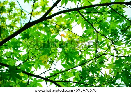 https://thumb1.shutterstock.com/display_pic_with_logo/167494286/695470570/stock-photo-summer-green-maple-695470570.jpg