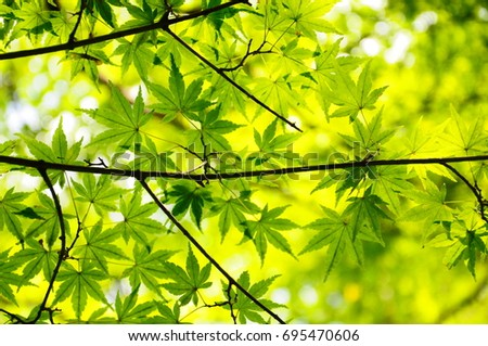 https://thumb1.shutterstock.com/display_pic_with_logo/167494286/695470606/stock-photo-summer-green-maple-695470606.jpg