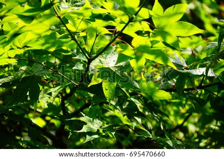 https://thumb1.shutterstock.com/display_pic_with_logo/167494286/695470660/stock-photo-summer-green-maple-695470660.jpg