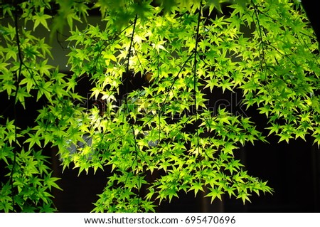 https://thumb1.shutterstock.com/display_pic_with_logo/167494286/695470696/stock-photo-summer-green-maple-695470696.jpg