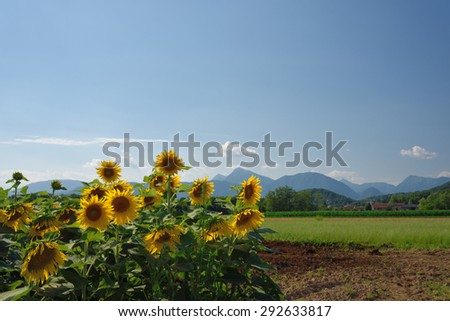 Summer heat and sunflowers