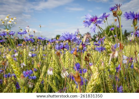 Summer in Sweden with cornflowers and wheat - stock photo