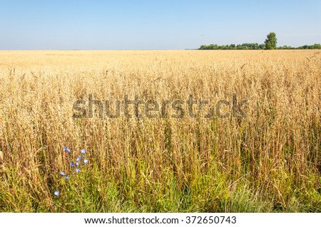 Summer is ripe barley field. Gold barley field and blue sky. Ripe yellow barley grain stalks.