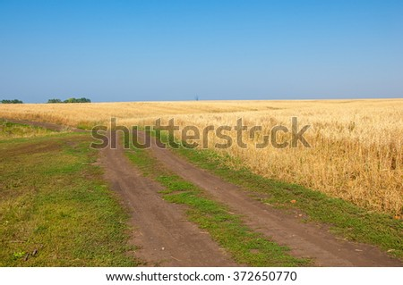 Summer is ripe barley field. Gold barley field and blue sky. Ripe yellow barley grain stalks.  - stock photo