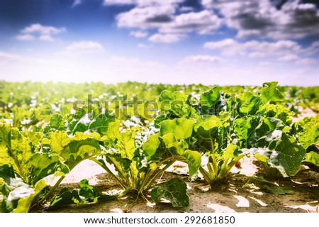 Summer landscape. Agricultural field with growing sugar beet  - stock photo