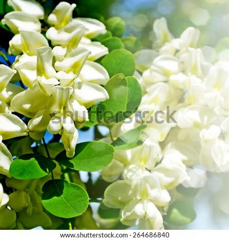 Summer landscape. bush blooming acacia - stock photo