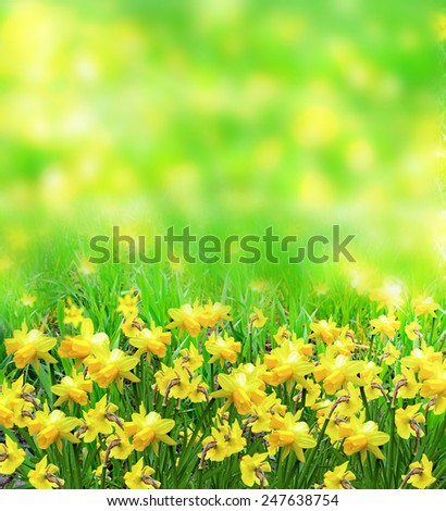 Summer landscape. flowers daffodils - stock photo