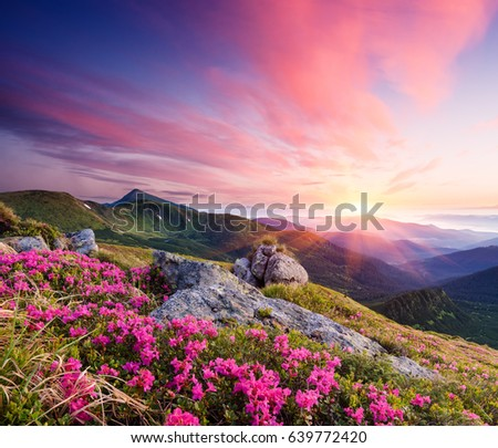 Summer landscape. Flowers of pink rhododendron in the mountains. Beautiful dawn. View of Goverla Mountain, Carpathian, Ukraine, Europe