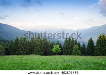 Summer landscape in the mountains. Maple tree on a green meadow with grass and flowers. Mountain slopes with fir forest. Karpaty, Ukraine, Europe - stock photo