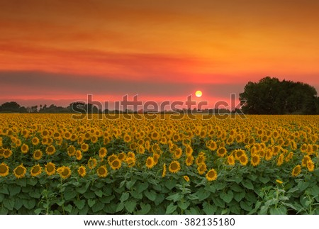 Summer Landscape: Orange Sunset over Yellow Sunflower Field in Northern California - stock photo