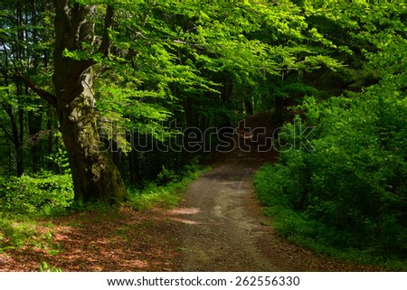 Summer landscape. Road in beech forest. Lush green trees - stock photo