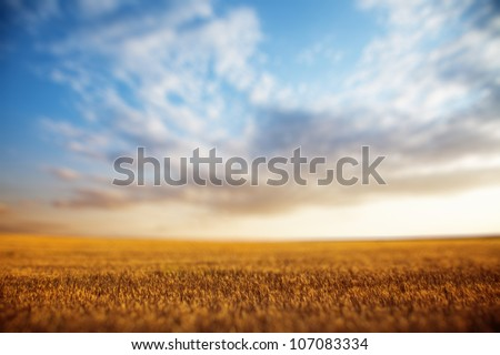 Summer landscape - wheat field at sunset, shallow depth of field - stock photo