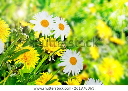 Summer landscape. Wildflowers daisies and dandelions