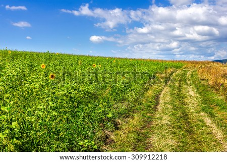 Summer landscape with a field of sunflowers and a dirt road - stock photo