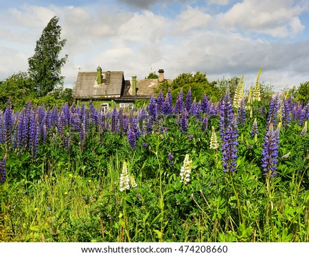 Summer landscape with blooming lupins