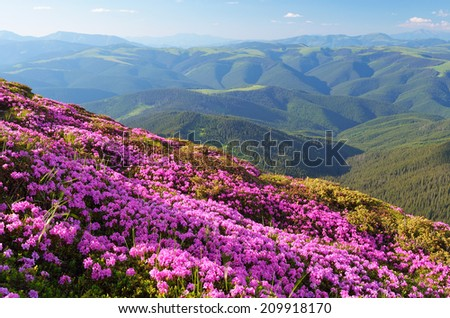 Summer landscape with blooming mountain slopes. Sunny day with rhododendron flowers - stock photo