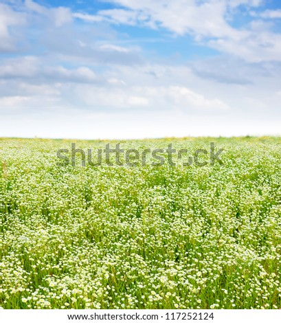 Summer landscape with daisy meadow in sunny summer day