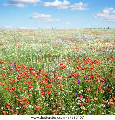 Summer landscape with field and poppies flowers and blue sky - stock photo