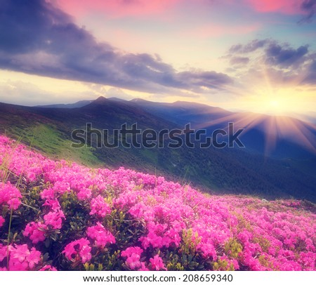 Summer landscape with flowers of rhododendron. Evening with a beautiful sky in the mountains. Glade of pink flowers. Soft effect. Color toning - stock photo