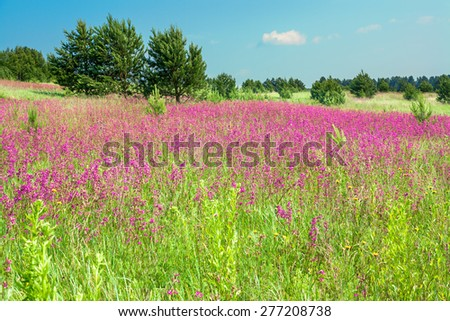 summer landscape with the blossoming pink flowers on a meadow - stock photo