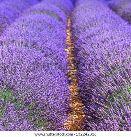 summer lavender farm - stock photo