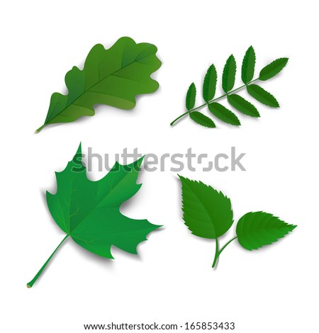 Summer leaves set oak, maple, ash and birch illustration