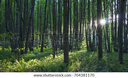 Summer linden forest in the rays of the setting sun