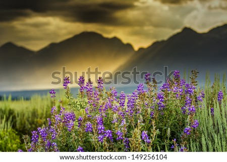 Summer lupine wildflowers underneath  a stormy late afternoon sky over the Tetons - stock photo