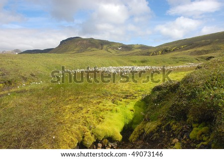 Summer meadow in Iceland.