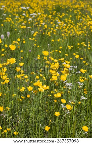 Summer meadow with blooming Meadow Buttercup - stock photo