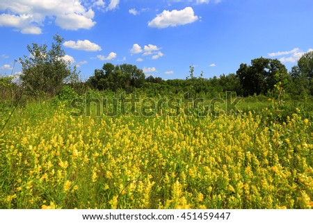 summer meadow with wild yellow flowers