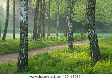 Summer morning in a birch grove. Landscapes