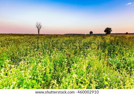 Summer morning landscape on buckwheat field with weeds. Beautiful after sunrise landscape with trees and fields. - stock photo