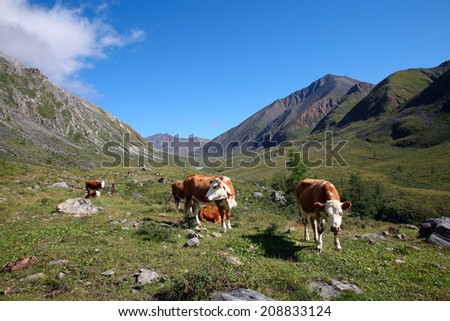 Summer mountain landscape red-white cow grazing at the foot of the mountains on a sunny afternoon - stock photo