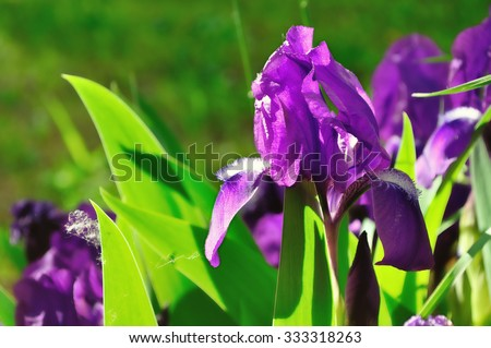 Summer natural background - purple iris flower under bright sunset light. Focus at the flower. Shallow depth of field. Soft focus processing
