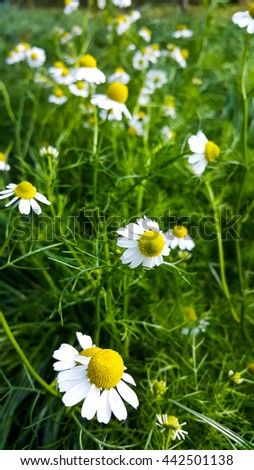 Summer of flowers camomile blossoms - stock photo