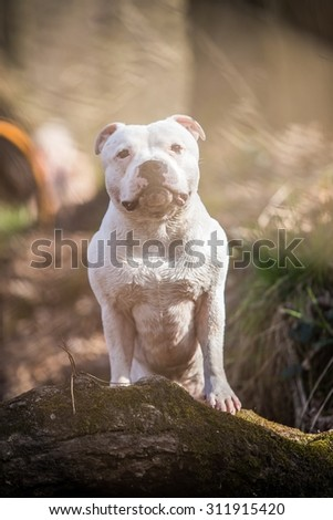 summer photo of beautiful white male stafbull terrier posing outside - stock photo