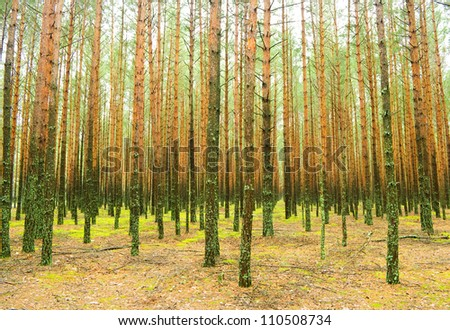 Summer pine forest in the early morning - stock photo