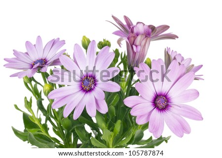 Summer pink  flowers for the girlfriend background isolated macro. Selective focus - stock photo